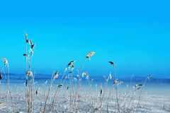 Frozen reeds Royalty Free Stock Photo