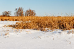 The frozen river with a dry cane on the island Royalty Free Stock Photos