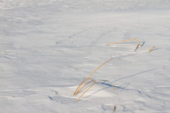 The frozen river with a dry cane on the island Royalty Free Stock Images