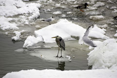 Frozen river, grey heron, seagull and mallard Stock Photography