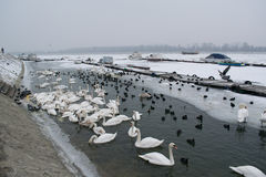 Frozen river with swans, seagulls, ducks and coots eating Stock Images
