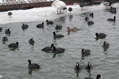 Frozen river with swans, seagulls, ducks and coots eating Royalty Free Stock Photography