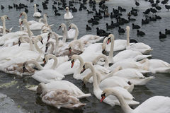 Frozen river with swans, seagulls, ducks and coots eating Stock Photo