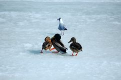 On the frozen river two ducks in a fight for food. stock image