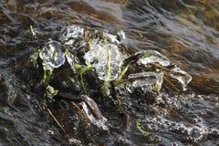 Frozen river vegetation Stock Photography