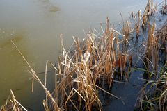 Frozen riverbank reeds. Winter river side frozen icy water sunlit reeds close-up detail Stock Images