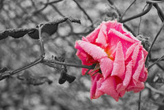 Frozen Rose Royalty Free Stock Photos