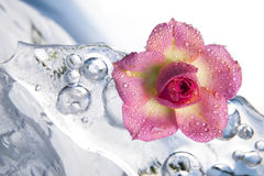 Frozen rose Stock Images