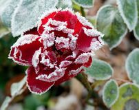 Frozen rose Royalty Free Stock Photo