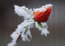 Frozen rose Royalty Free Stock Image