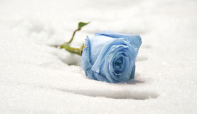 Free Frozen Rose Royalty Free Stock Image - 4345156