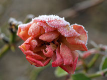 A frozen rose. With ice on it in the winter Stock Photography