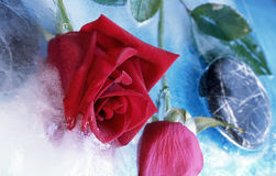 Frozen rose Stock Image