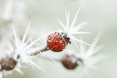 Frozen rose bud with ice crystals. Close up on frozen rose bud with huge ice crystals royalty free stock photos