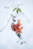 Frozen rose bush Royalty Free Stock Photography