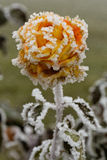 Frozen rose. Close-up of an orange rose covered with frost stock image