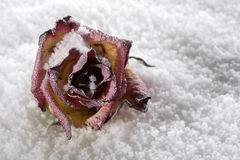 Frozen rose Stock Photo