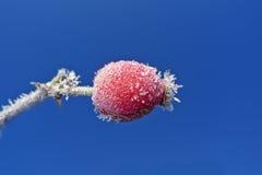 Frozen rose hip Stock Image