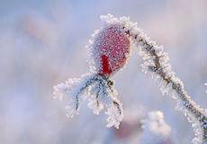 Frozen rose hip Royalty Free Stock Photography