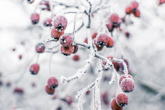 Frozen rose hip bush Stock Photo