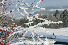 Frozen rose hip covered by snow and  winter landscape Royalty Free Stock Photography
