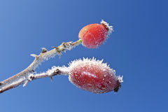 Frozen rose hips Royalty Free Stock Photo