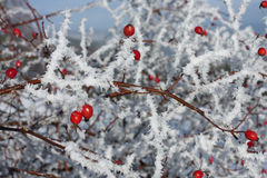 Frozen rose hips covered by  snow Royalty Free Stock Images