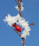 Frozen rose hips covered by snow and blue winter sky Stock Image