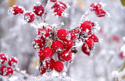 Frozen rose hips. In winter stock photo