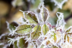 Frozen Rose with morning frost stock photos