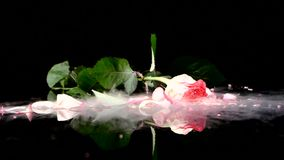 Free Frozen Rose On The Table Falls And Breaks On Black Royalty Free Stock Photography - 54223957