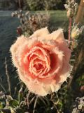 Frozen rose. Peach rose with ice frosty frozen winter garden Stock Photo