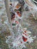 Frozen rose Stock Photos