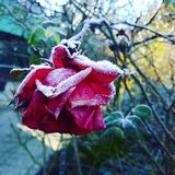 Frozen Rose Royalty Free Stock Photography