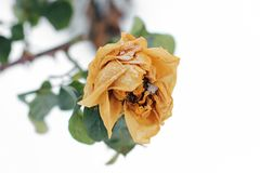 Frozen rose in winter. Withered flower close up royalty free stock photography