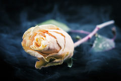 Frozen  rose Stock Photography