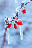 Frozen rosehip branch in winter Royalty Free Stock Images