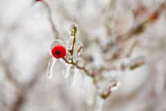 Frozen rosehip Royalty Free Stock Photo