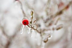Frozen rosehip Royalty Free Stock Photo
