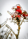 Frozen rosehip royalty free stock photography