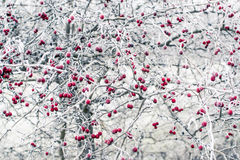 Frozen rosehips Stock Photography