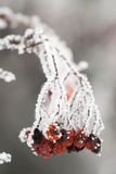 Frozen rosehips Stock Image