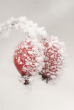 Frozen Rosehips Royalty Free Stock Images