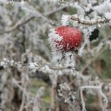 Frozen rosehips Royalty Free Stock Image