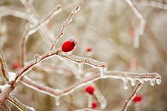 Frozen rosehips Stock Photos