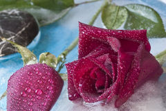 Frozen roses. Roses frozen in ice in studio setting royalty free stock photo