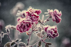 Frozen roses. Royalty Free Stock Photography