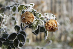 Frozen roses. During winter time Royalty Free Stock Image