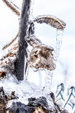 Frozen and rotting sunflower stem Royalty Free Stock Images