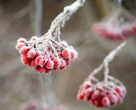 Frozen rowan berries Stock Images